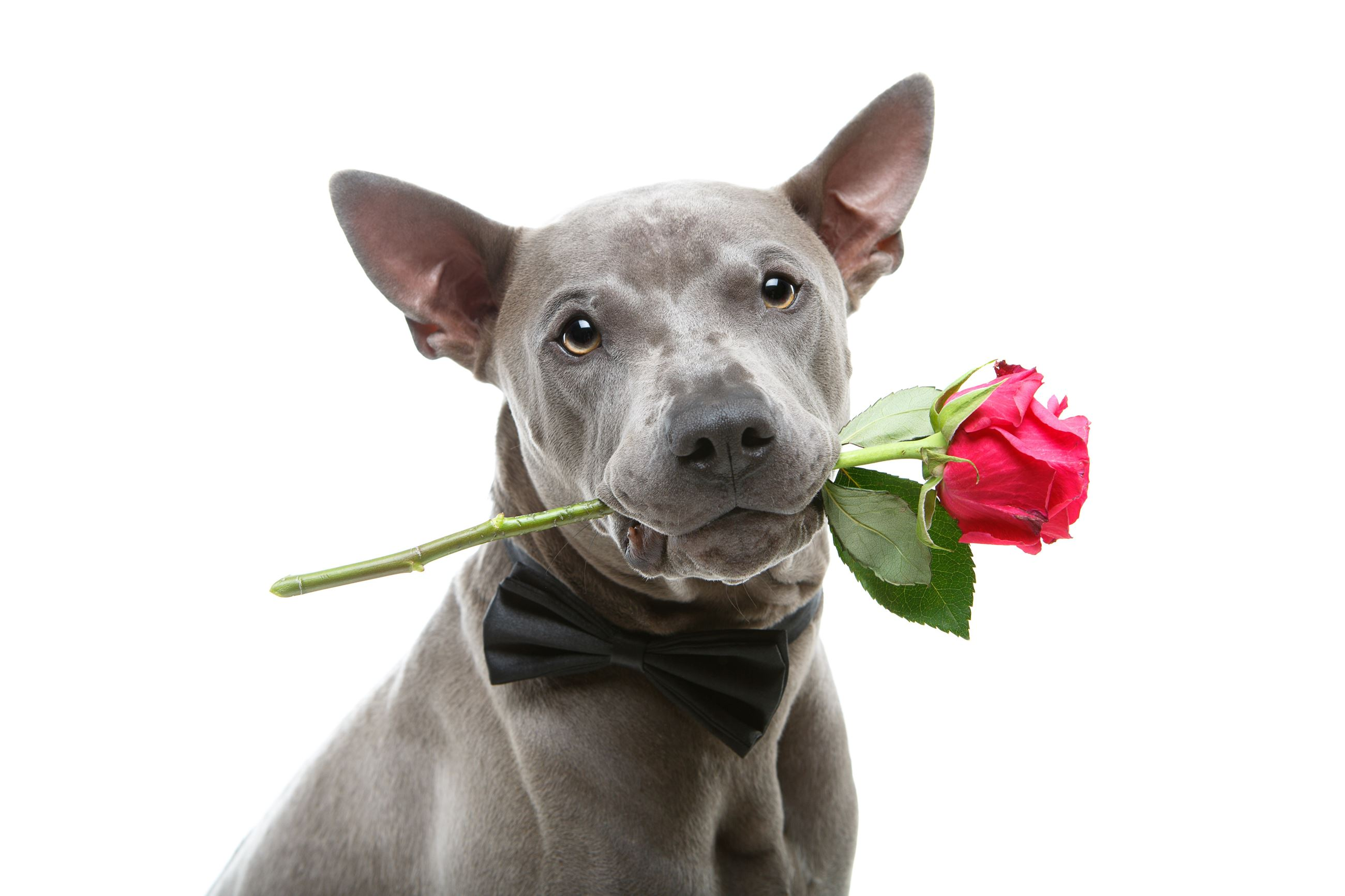 Dog with Rose in his Mouth